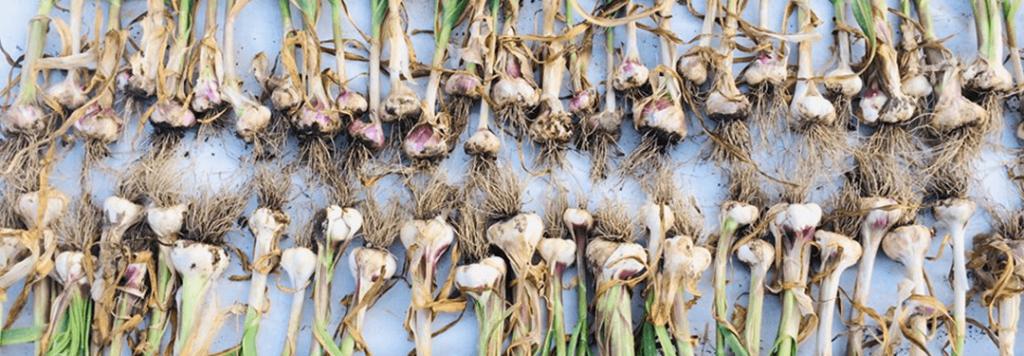 Teste d'aglio appena raccolte