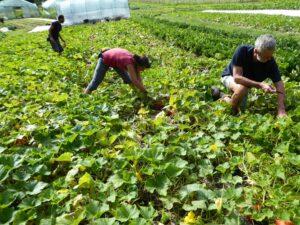 Il lavoro sul campo dell'azienda agricola Radici Felici